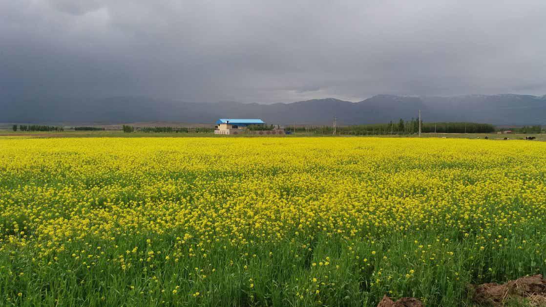 مزارعی پر از گل های زرد . منطقه سراب .