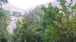 درخت ذغال اخته در باغات اشتبین