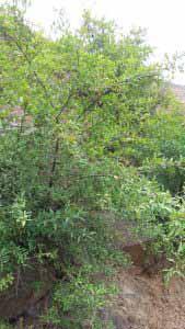 درخت انار در باغات اشتبین