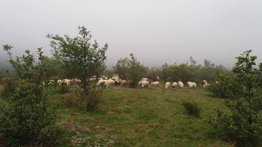 گله های عشایر مشغول چرای قاچاق در محدوده حفاظت شده