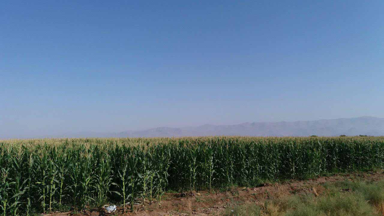مزارع ذرت ، بیشترین چیزی که امروز دیدیم
