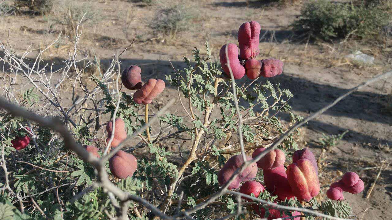 قبل از نجم آباد ، کنار جاده پر است از این خارها که میوه خوشرنگی دارند . اسمشان را نمی دانم و در اینترنت هم نتوانستم بیابیم .
