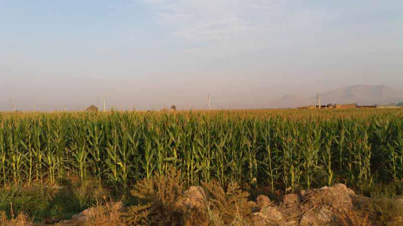 مزارع ذرت در محدوده نظرآباد