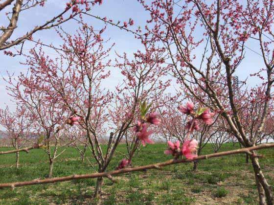شکوفه های بهاری - بعد از مرادلو